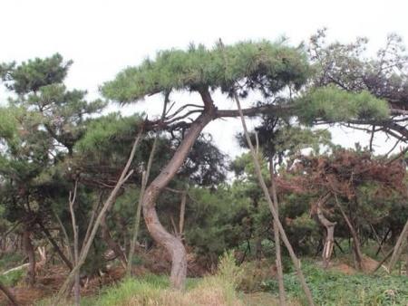 造型油松价格表能够作为我们选购苗木的参考