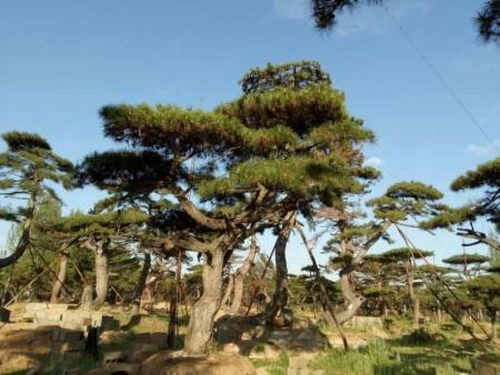 秋季移栽莱芜造型油松需要做好哪些工作