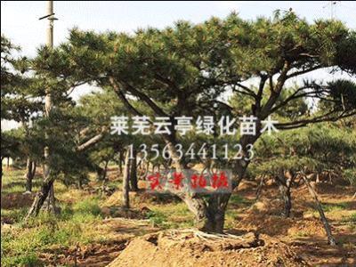 景观松树,泰山迎客松,亚博体育油松,平顶松-山东莱芜云亭绿化苗木合作社