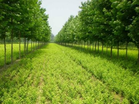 园林绿化苗木的种植新技术,绿源合作社告诉您!