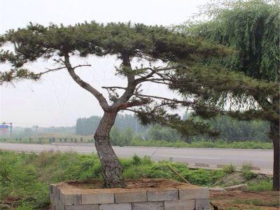 造型松|景观松|泰山松|造型黑松|油松-山东莱芜源润园林
