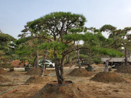造型黑松种植之后幼苗期间要把控浇水量和施肥量