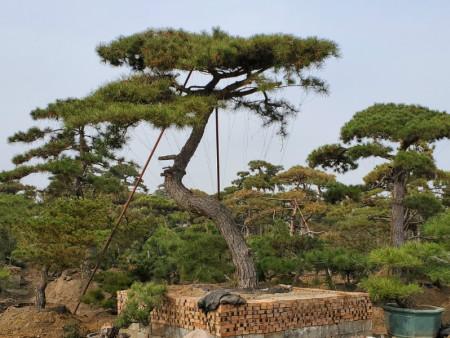 详细了解山东造型黑松的种植养护经验