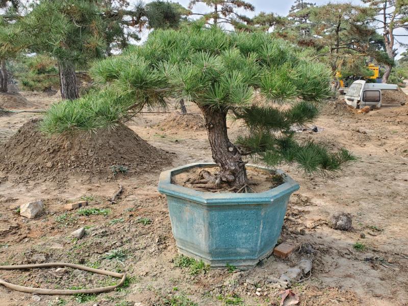深度了解_冬季如何做好修剪黑松盆景的工作