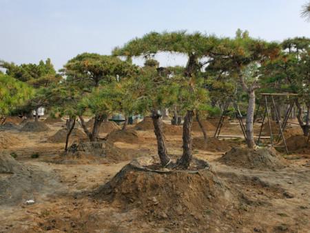 造型黑松基地帮助树木返青的详细步骤