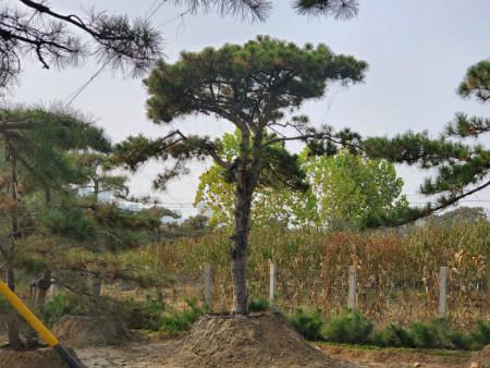 阳春三月_如何正确给泰安造型油松施肥
