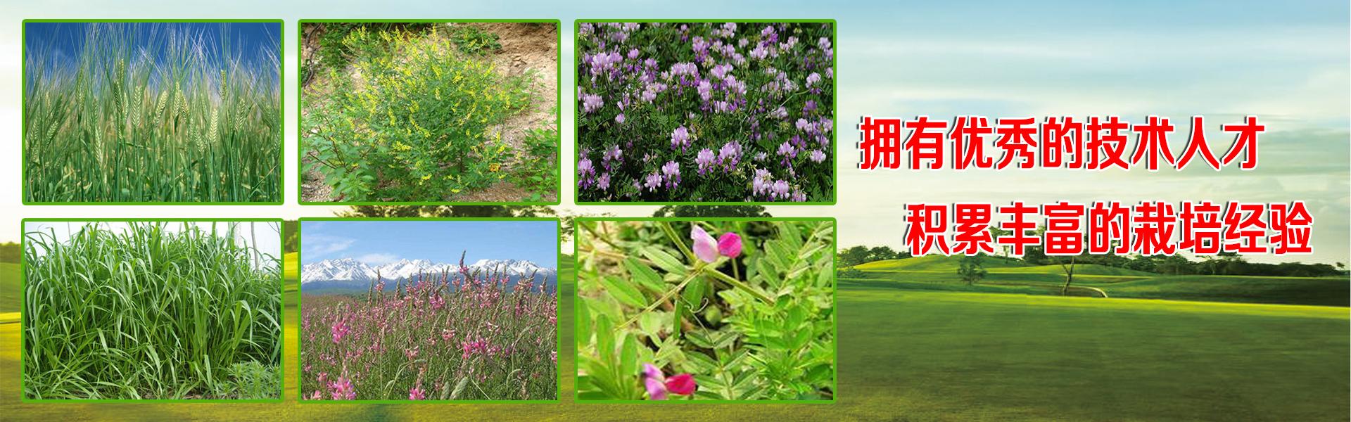 宁夏上谷农牧业开发有限公司(郭总:13995293493)是一家专业从事宁夏草坪花卉种子、林灌木种子、绿肥种子、牧草种子、沙生生态种子的生产加工销售以及人工草地建设、生态植被恢复等工程的生态科技企业。