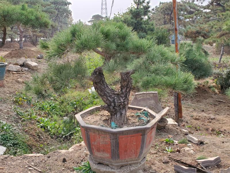 问,造型黑松盆景的日常养护方法是什么
