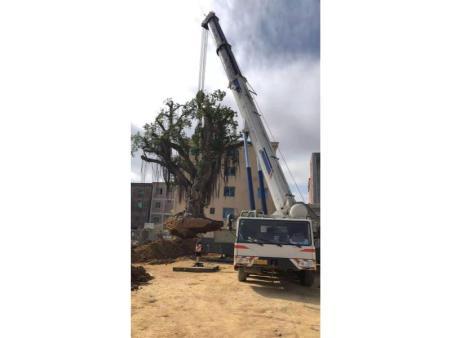350吨汽车吊恵安移植2百多年80吨榕树