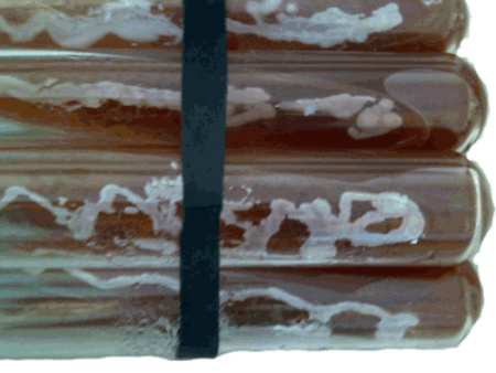 产朊假丝酵母