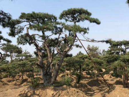 夏季如何養護造型松才能避免不良生長