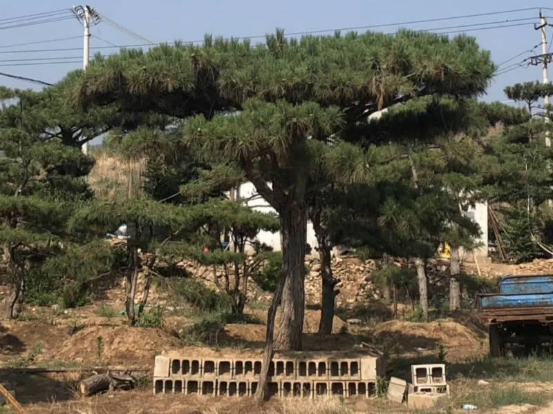 景觀松種植需要注意哪些事項