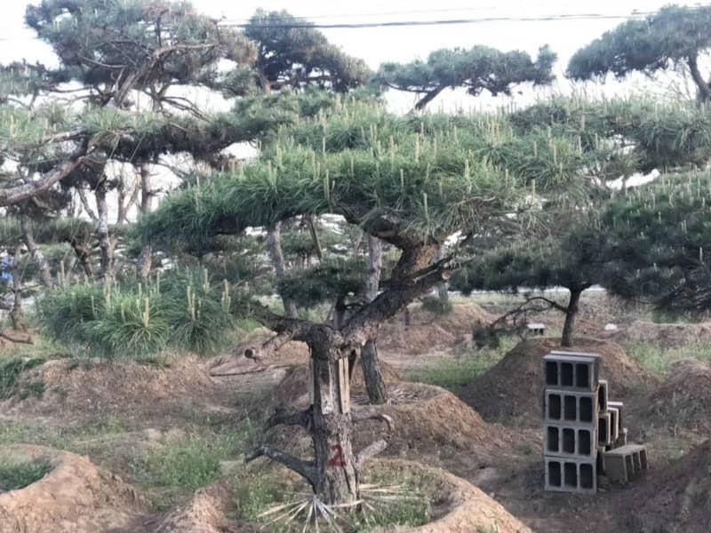 景觀松苗木狀態的好壞將會直接影響生長