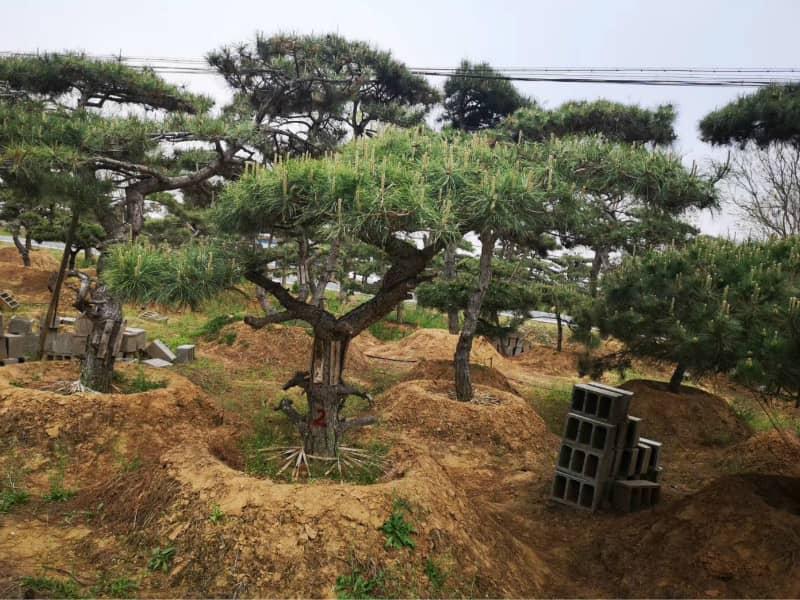 土壤的滲透性對提高造型黑松價格有著一定的推動作用