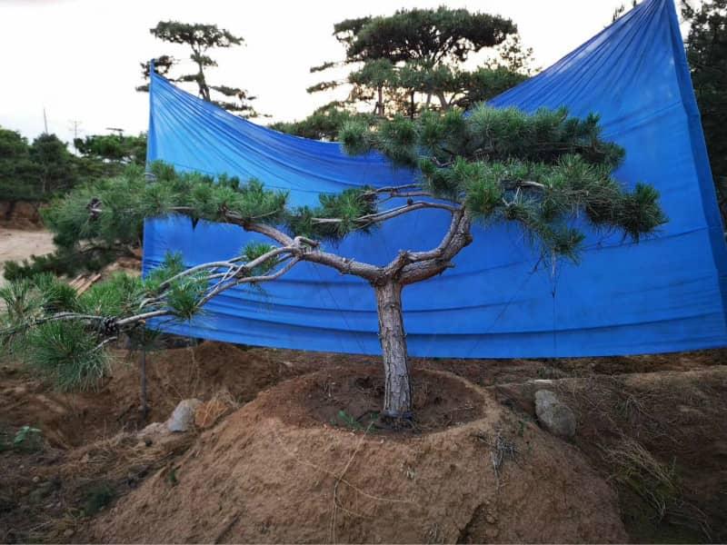 造型油松價格之樹池中的土壤養分會受到限制