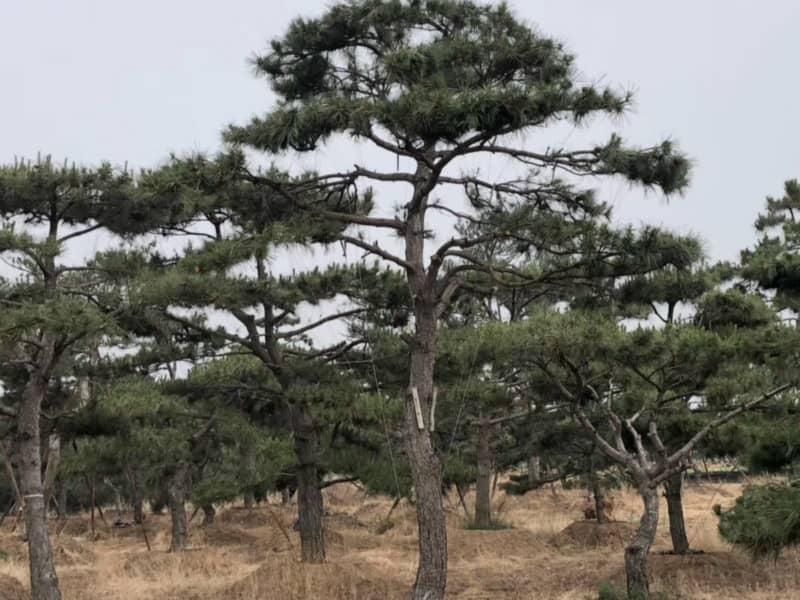 了解萊蕪造型油松適宜生長的土壤和地區
