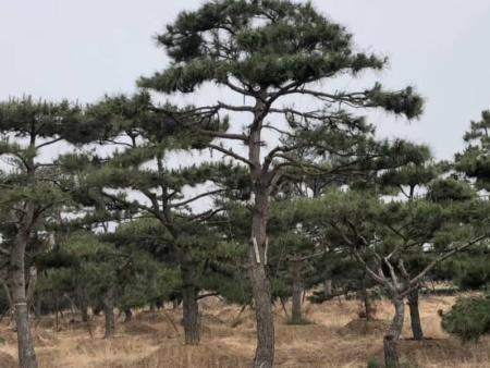 了解莱芜造型油松适宜生长的土壤和地区