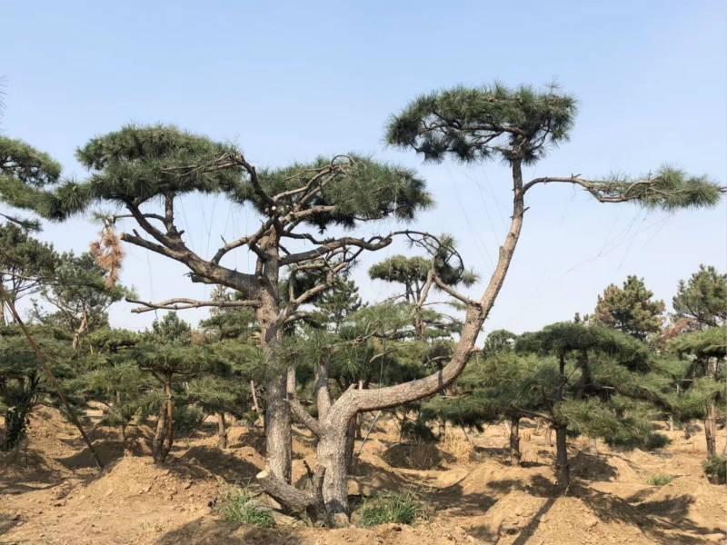 春節將近_低溫天氣該如何穩定造型松的生長