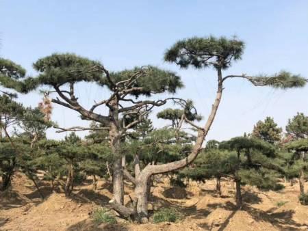 春节将近_低温天气该如何稳定造型松的生长