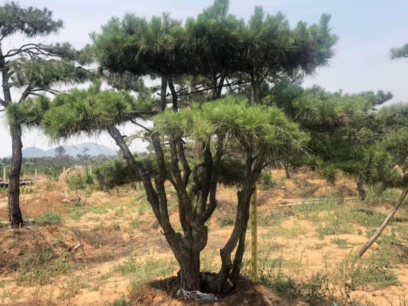 景觀松扦插成活之后該如何做好養護工作