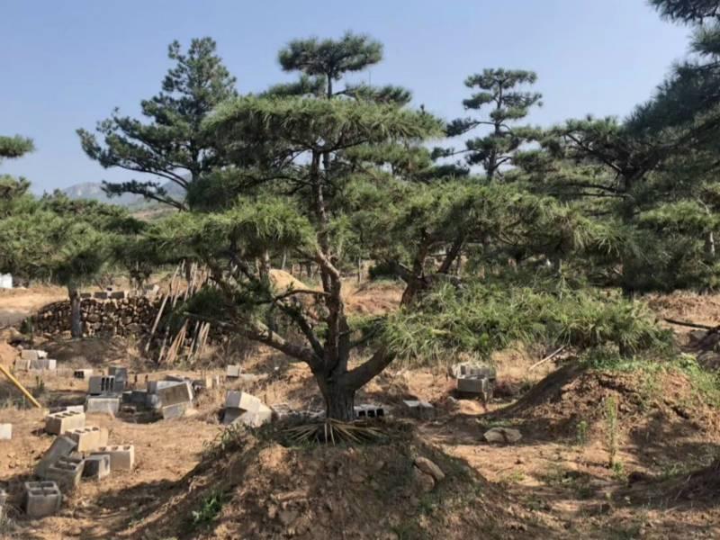 春季如何預防造型油松樹出現倒春寒情況?