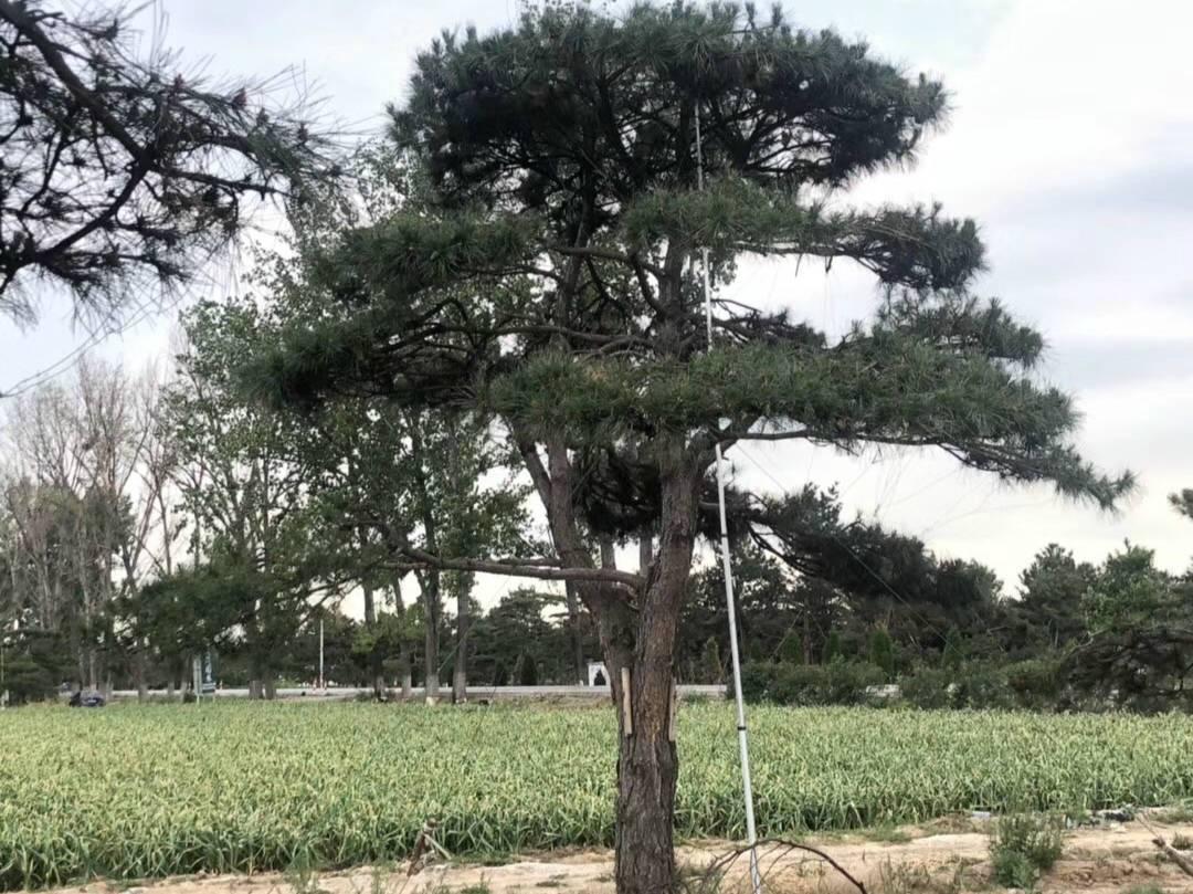 造型黑松價格——苗木的分類包裝形式