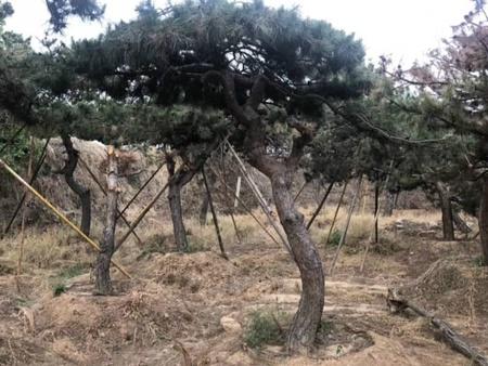 如何改善土壤結構促進造型油松的生長