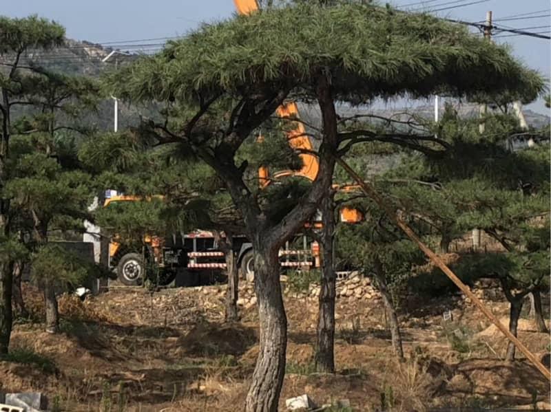 什么樣的造型松樹更適合美化環境呢?