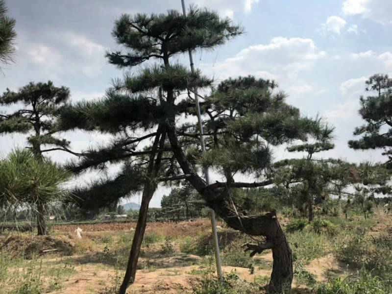 景觀松種植后期應該如何進行管理你知道嗎
