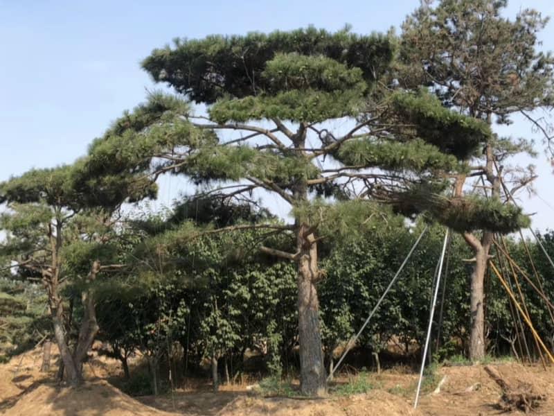 根據造型松樹主枝及輪具有的特性,可以斜栽