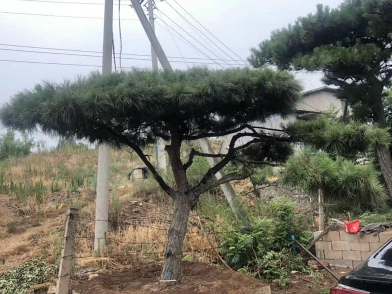 景觀松基地采用哪種有效地方法為林木御寒