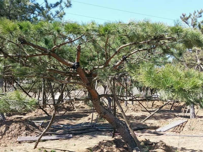 造型油松的養殖方法