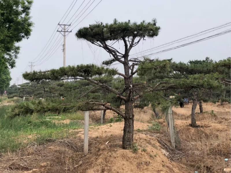 什麽樣的泰山迎客鬆在綠化中使用的價值高