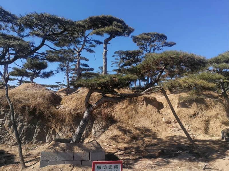 造型松基地根據苗木自然生長狀態進行合理的培育