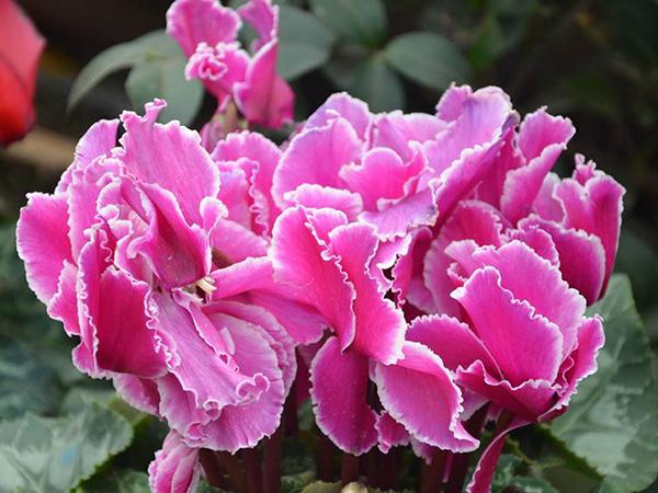 盆栽花卉系列