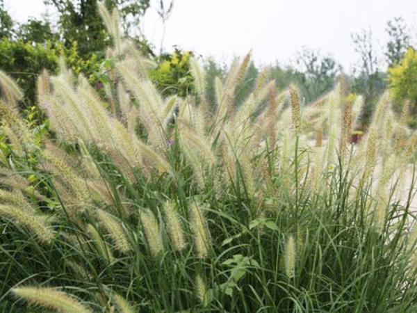 观赏草系列