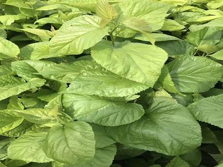 吉林高寒地区种植王草玉米草健宝获得成功