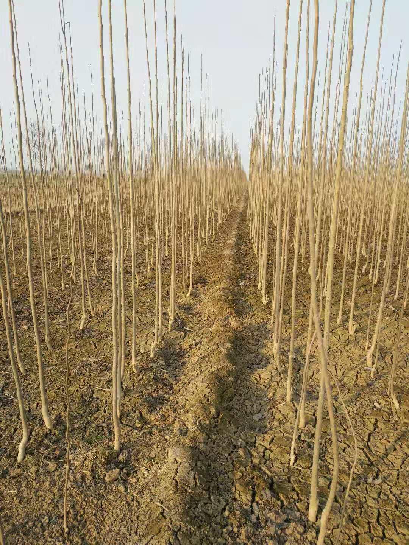 杜仲树苗的栽培方法与技巧,山东仲友杜仲苗公司给你说