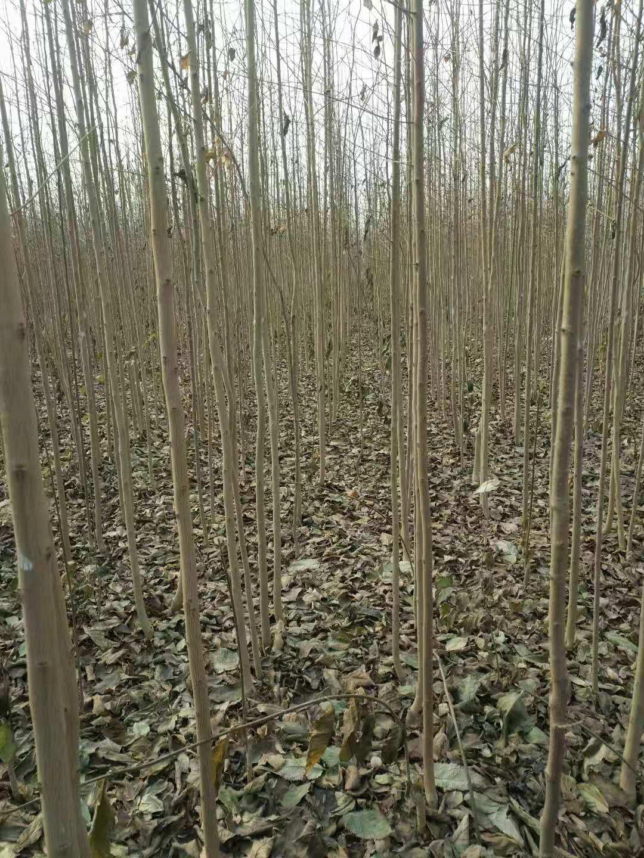 春天到来,到了栽培杜仲苗的季节,要杜仲树苗就到山东莘县仲友杜仲苗种植公司
