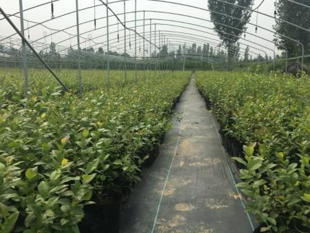 蓝莓苗基地