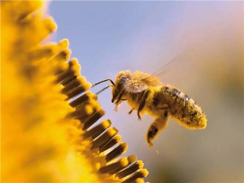 坚持服用蜂花粉,益处良多!