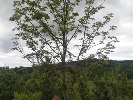 抚顺樟子松树苗的种植技术及其优点。