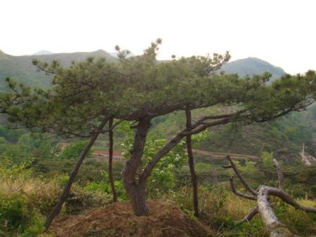Pinus tabulaeformis