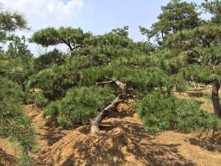 景觀松樹基地