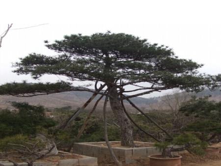 Taishan pine