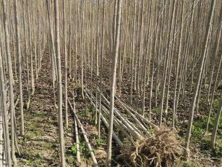 山东仲友杜仲种植公司出售1到8公分杜仲树苗