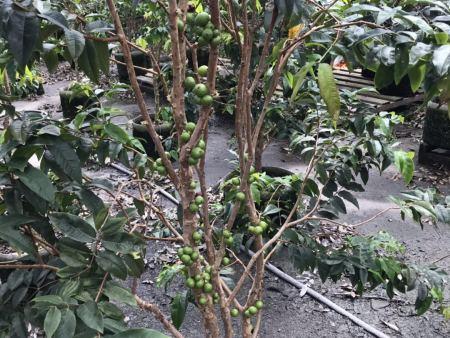 艾斯卡树葡萄