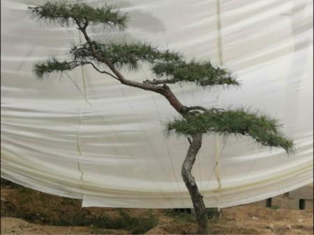 """""""景观松""""的栽培技术密度及浇水进行养护"""