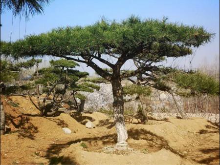 造型松移栽的注意事項和方法