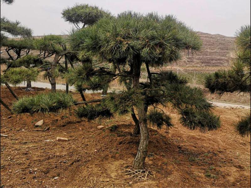 采用正確的培育方法有利于平頂松的生長和發育